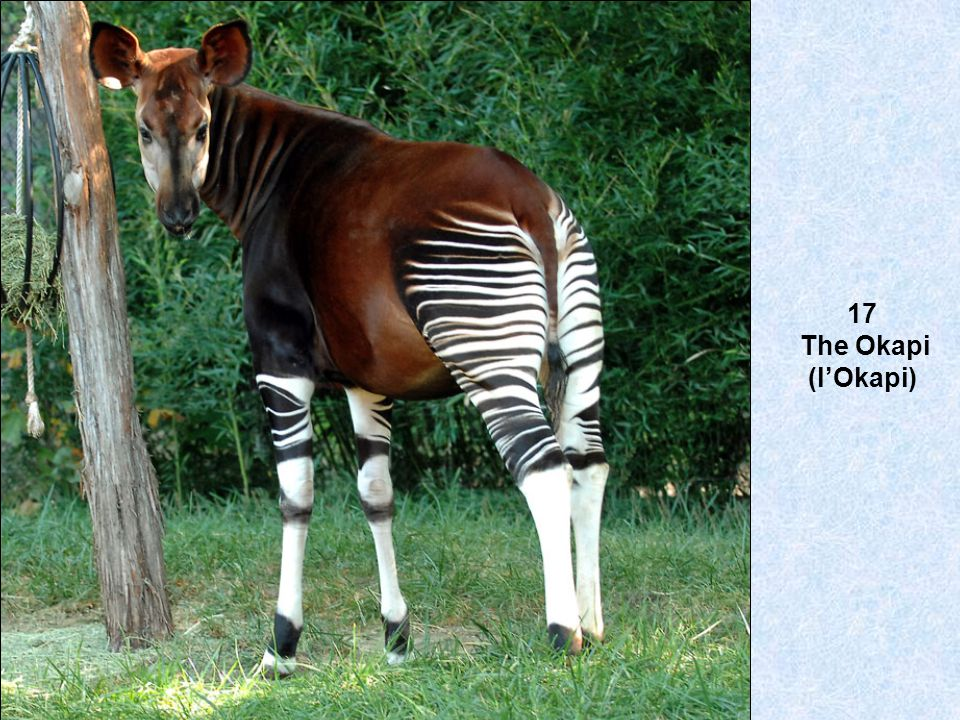 17 The Okapi (lOkapi)