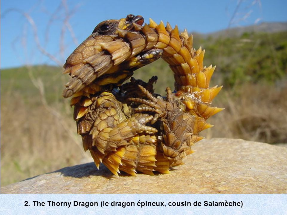 2. The Thorny Dragon (le dragon épineux, cousin de Salamèche)