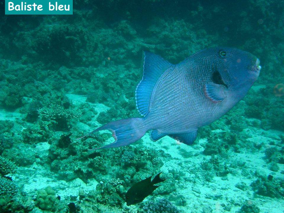 Baliste bleu