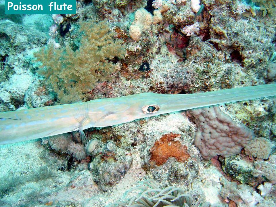 Poisson flute