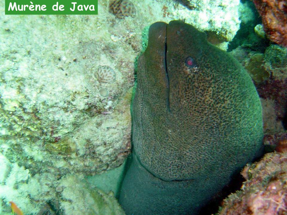 Murène de Java