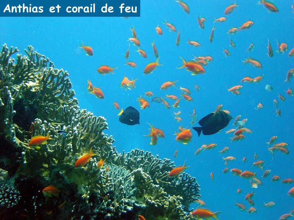 Anthias et corail de feu