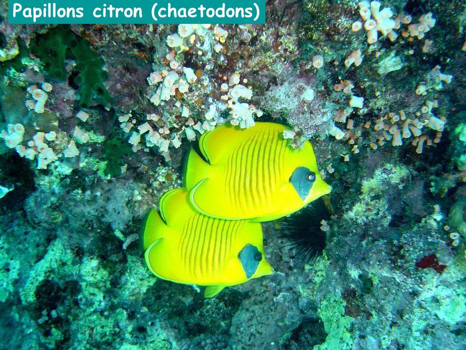 Papillons citron (chaetodons)