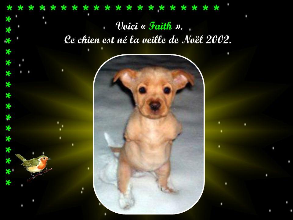 Voici « Faith ». Ce chien est né la veille de Noël 2002. * * * * * * * * * * * * * * * * * *