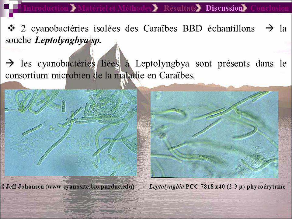 Introduction Matériel et Méthodes Résultats Discussion Conclusion 2 cyanobactéries isolées des Caraïbes BBD échantillons la souche Leptolyngbya sp.