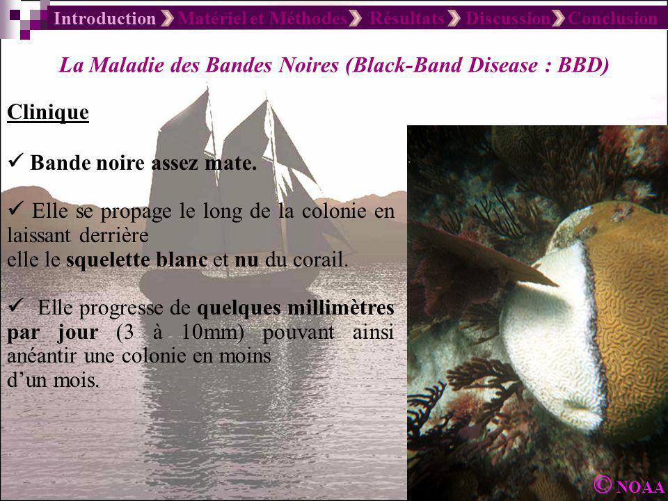 Introduction Matériel et Méthodes Résultats Discussion Conclusion La Maladie des Bandes Noires (Black-Band Disease : BBD) Clinique Bande noire assez m