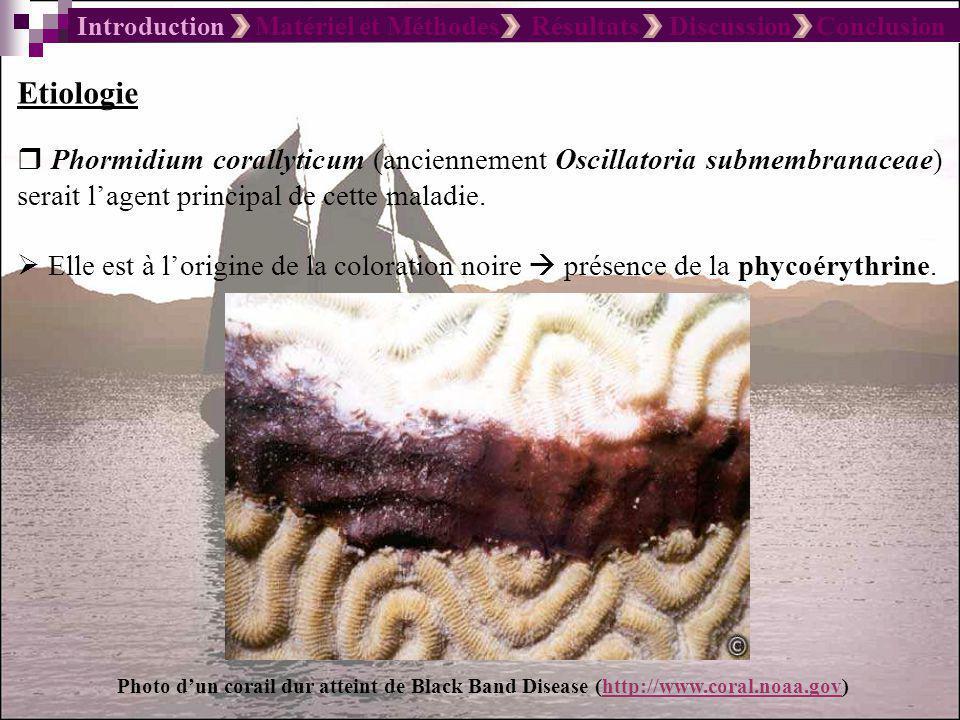 Introduction Matériel et Méthodes Résultats Discussion Conclusion Etiologie Phormidium corallyticum (anciennement Oscillatoria submembranaceae) serait