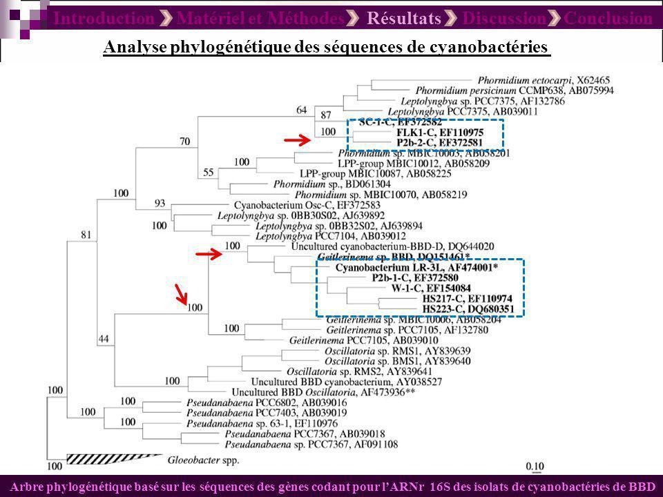 Introduction Matériel et Méthodes Résultats Discussion Conclusion Analyse phylogénétique des séquences de cyanobactéries Arbre phylogénétique basé sur