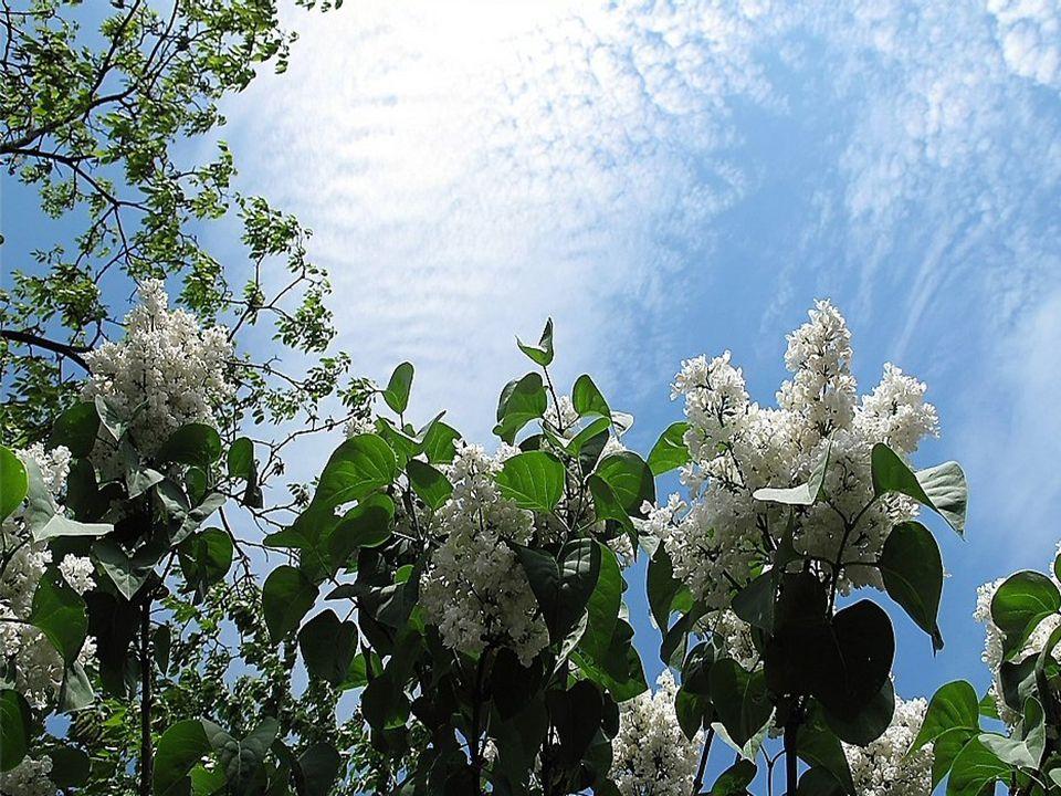 Grisée de beauté, éblouie de lumière Je lève vers le ciel d azur les yeux En moi germe un souhait, une prière Que chacun te contemple printemps et sois heureux!