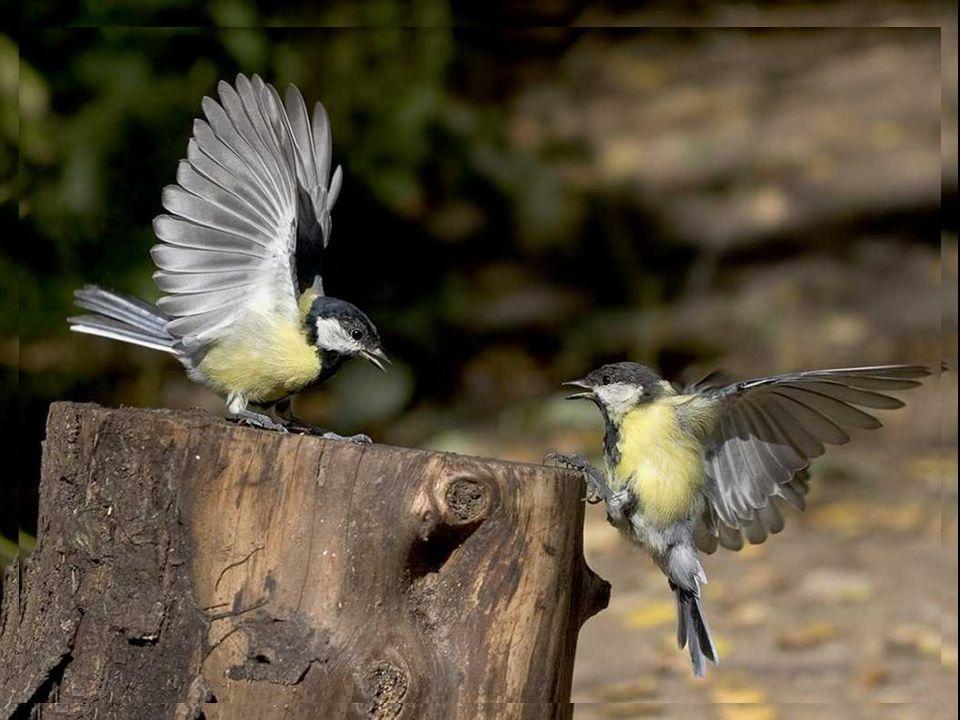 Les oiseaux ébouriffent leur plumage Déploient leurs charmes, prélude d amour, Ils vocalisent, fiers de leur ramage, Offrande crépusculaire, à la beauté du jour.