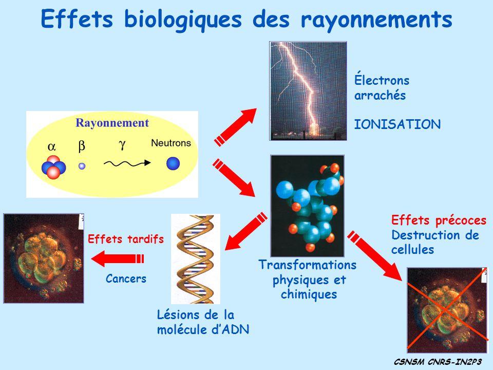 Effets précoces Destruction de cellules Lésions de la molécule dADN Électrons arrachés IONISATION Transformations physiques et chimiques Effets tardifs Cancers Effets biologiques des rayonnements CSNSM CNRS-IN2P3