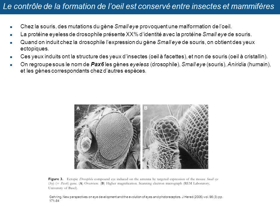 Le contrôle de la formation de loeil est conservé entre insectes et mammifères Chez la souris, des mutations du gène Small eye provoquent une malforma