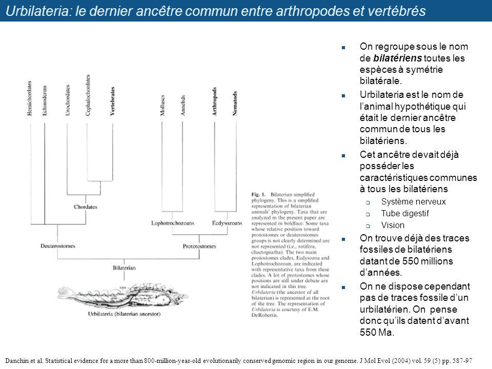 Urbilateria: le dernier ancêtre commun entre arthropodes et vertébrés On regroupe sous le nom de bilatériens toutes les espèces à symétrie bilatérale.