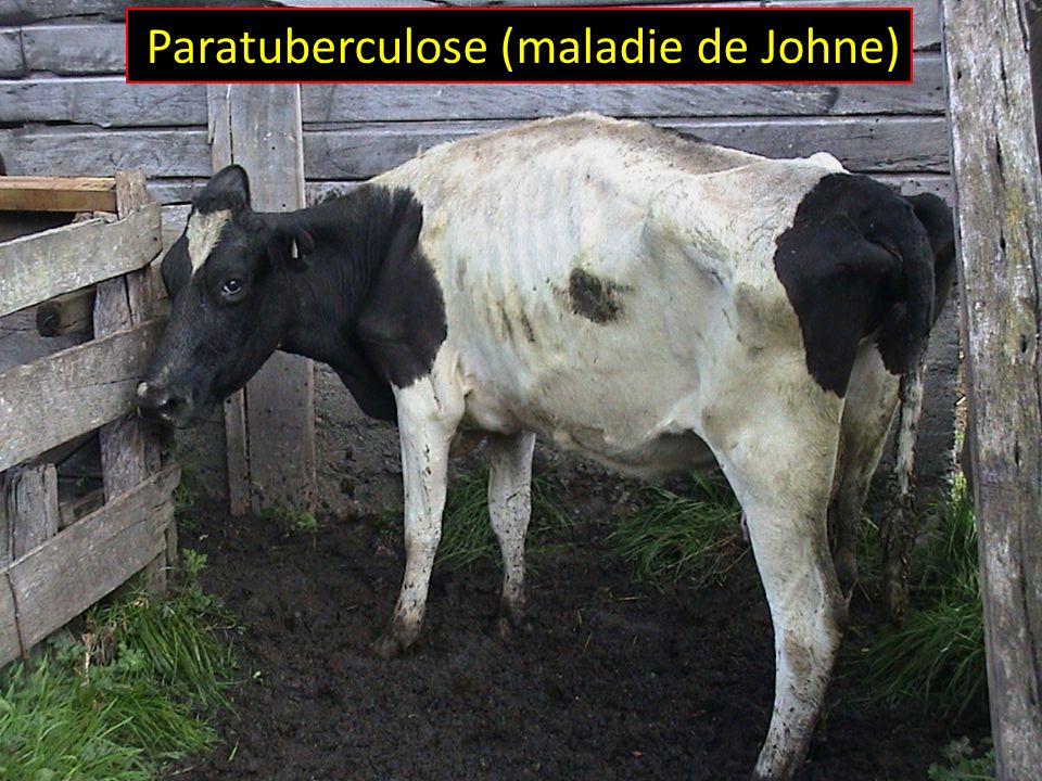 Lutter contre la maladie de Johne par lentremise de la gestion et de la génétique Michael T.