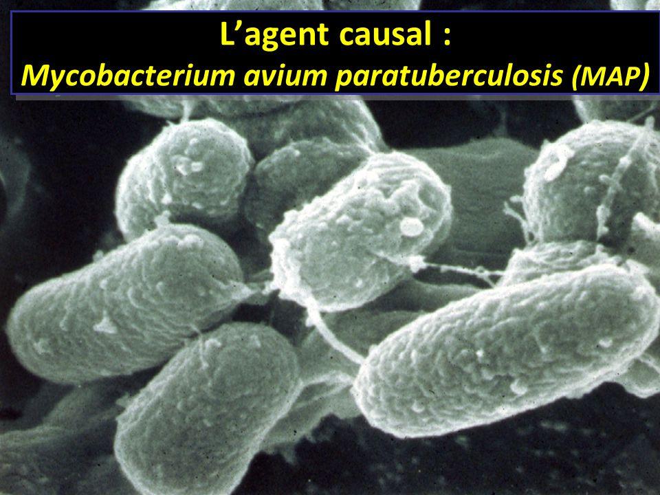 Lagent causal : Mycobacterium avium paratuberculosis (MAP )