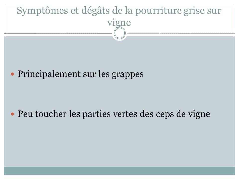 Symptômes et dégâts de la pourriture grise sur vigne Principalement sur les grappes Peu toucher les parties vertes des ceps de vigne