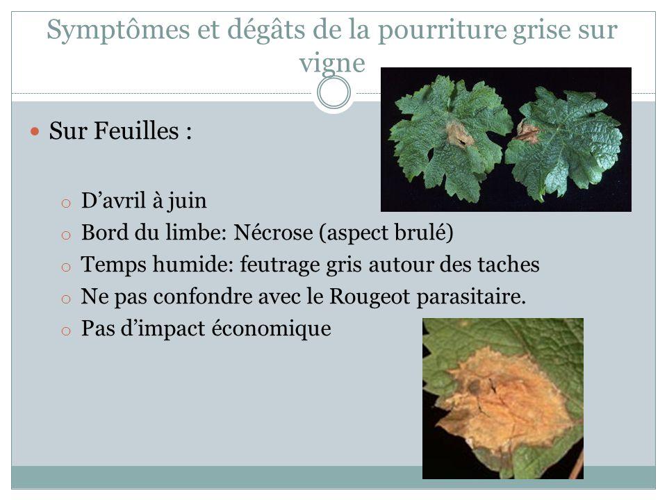 Symptômes et dégâts de la pourriture grise sur vigne Sur Feuilles : o Davril à juin o Bord du limbe: Nécrose (aspect brulé) o Temps humide: feutrage g