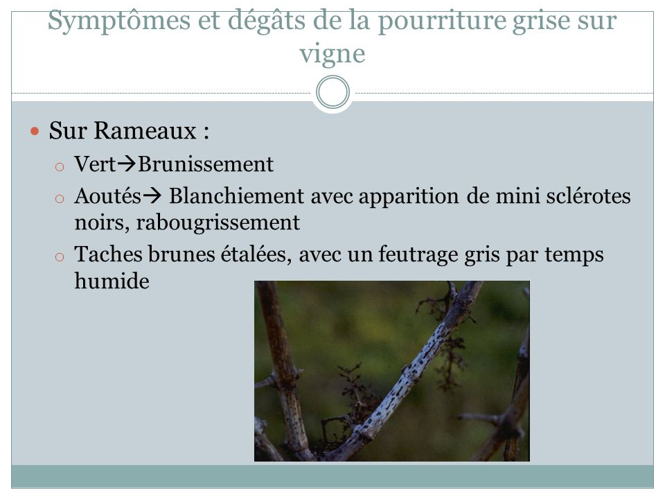 Symptômes et dégâts de la pourriture grise sur vigne Sur Rameaux : o Vert Brunissement o Aoutés Blanchiement avec apparition de mini sclérotes noirs,