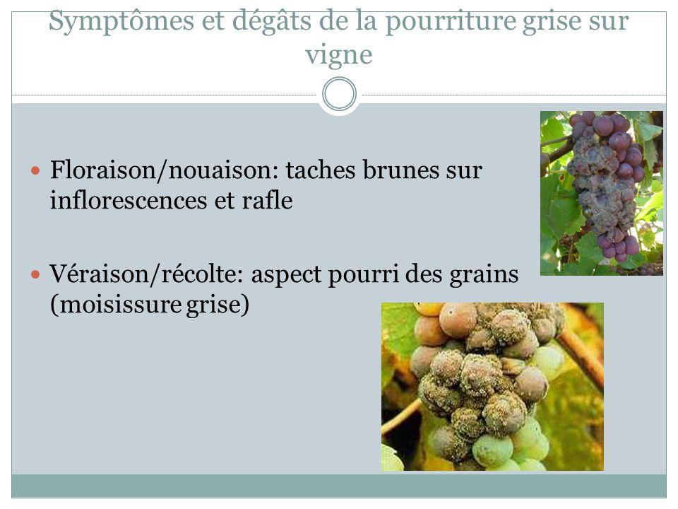 Symptômes et dégâts de la pourriture grise sur vigne Floraison/nouaison: taches brunes sur inflorescences et rafle Véraison/récolte: aspect pourri des