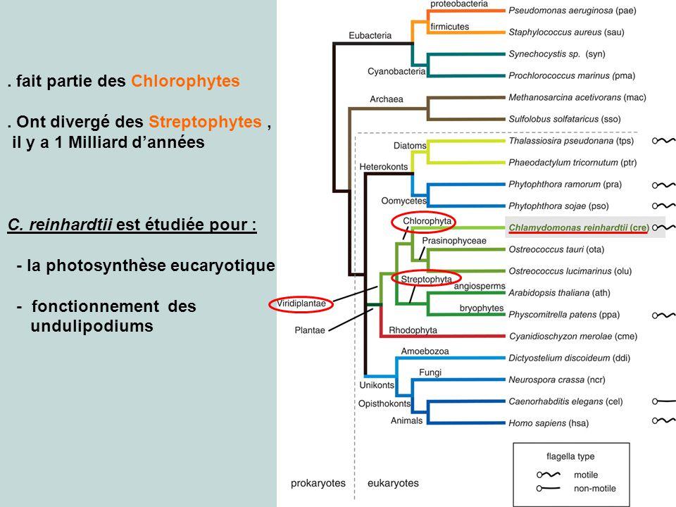 4. fait partie des Chlorophytes. Ont divergé des Streptophytes, il y a 1 Milliard dannées C. reinhardtii est étudiée pour : - la photosynthèse eucaryo