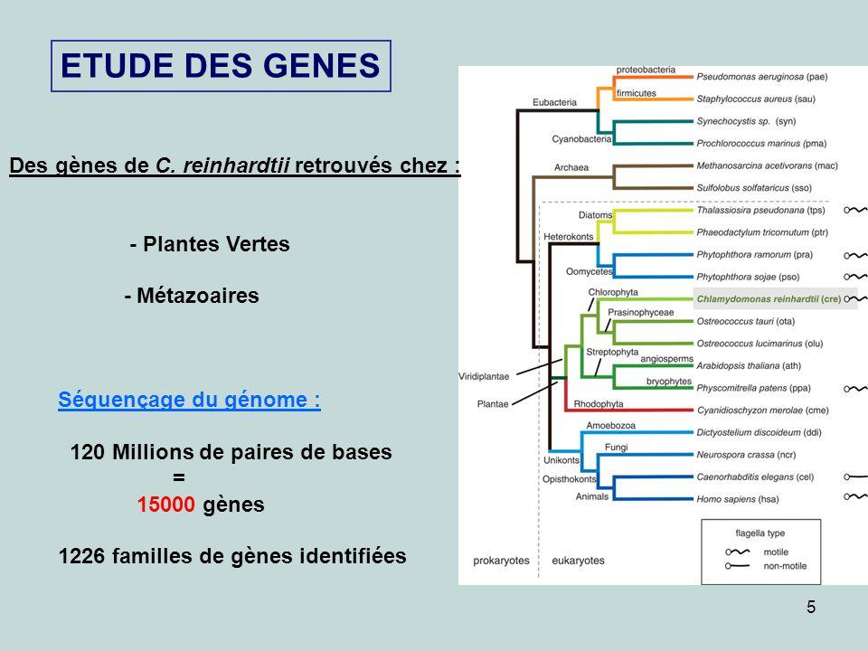 5 ETUDE DES GENES Des gènes de C. reinhardtii retrouvés chez : - Plantes Vertes - Métazoaires Séquençage du génome : 120 Millions de paires de bases =