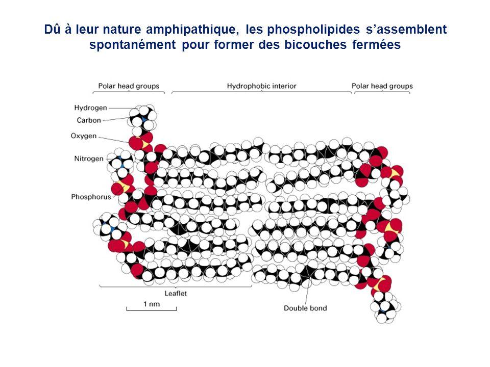Dû à leur nature amphipathique, les phospholipides sassemblent spontanément pour former des bicouches fermées