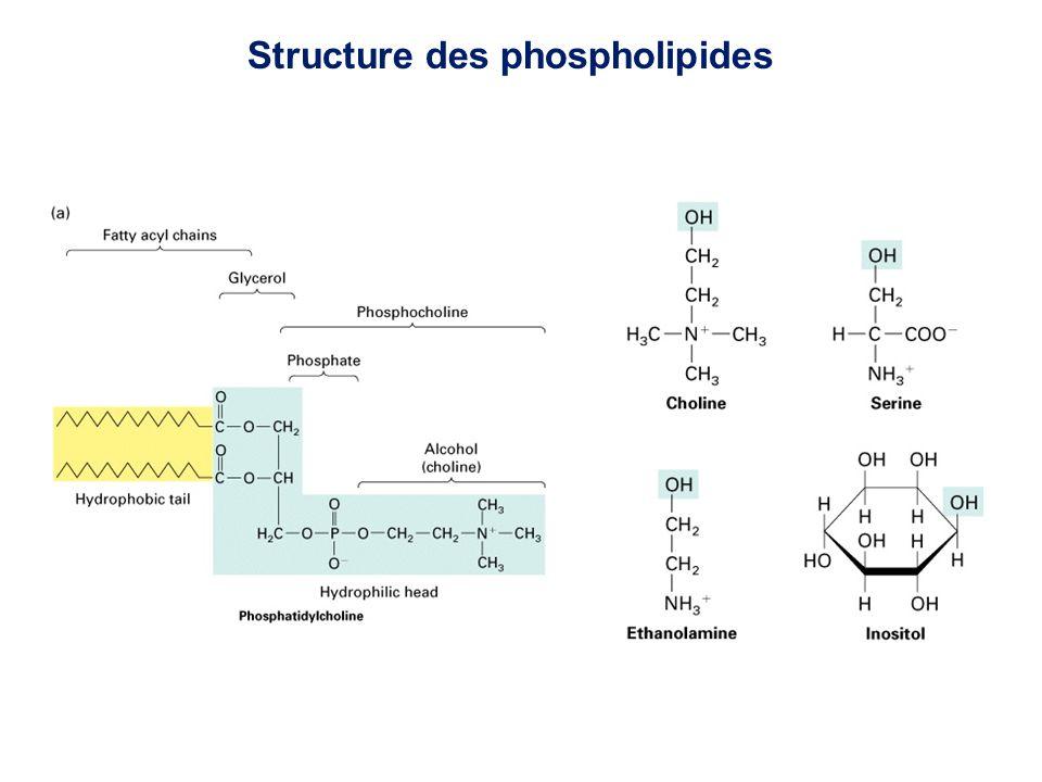 Structure des phospholipides