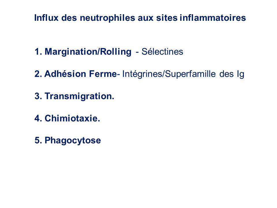 1. Margination/Rolling - Sélectines 2. Adhésion Ferme- Intégrines/Superfamille des Ig 3. Transmigration. 4. Chimiotaxie. 5. Phagocytose Influx des neu