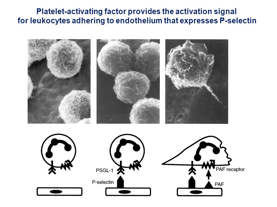 Platelet-activating factor provides the activation signal for leukocytes adhering to endothelium that expresses P-selectin