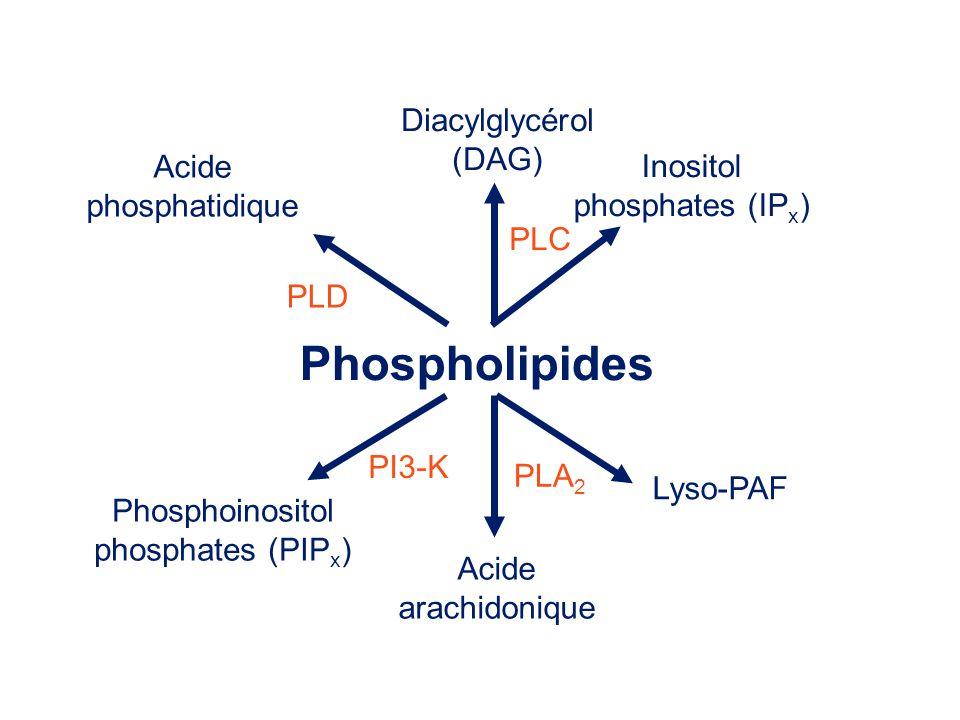 Phospholipides Acide phosphatidique PLD Acide arachidonique Lyso-PAF PLA 2 Diacylglycérol (DAG) Inositol phosphates (IP x ) PLC Phosphoinositol phosph