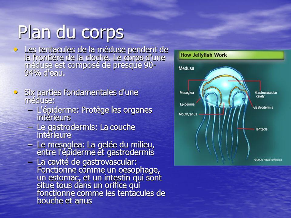 Plan du corps Les tentacules de la méduse pendent de la frontière de la cloche. Le corps d'une méduse est composé de presque 90- 94% d'eau. Les tentac
