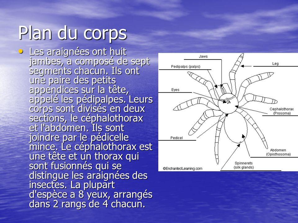 Plan du corps Les araignées ont huit jambes, a composé de sept segments chacun. Ils ont une paire des petits appendices sur la tête, appelé les pédipa