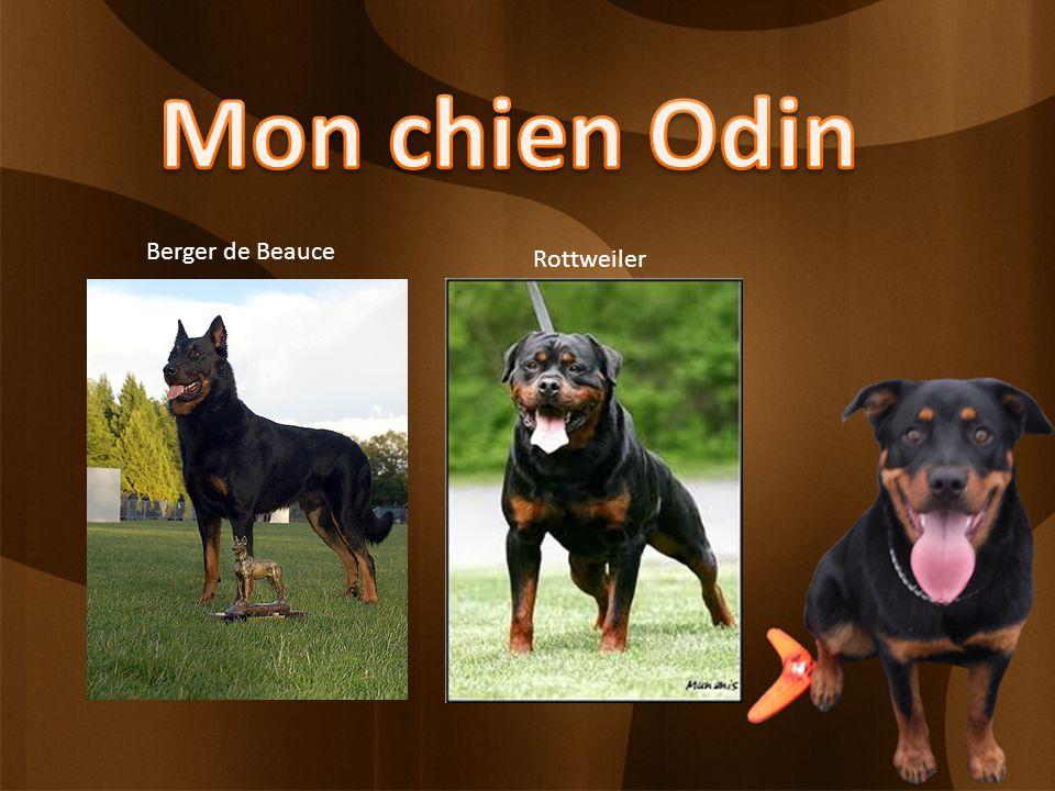 Berger de Beauce Rottweiler