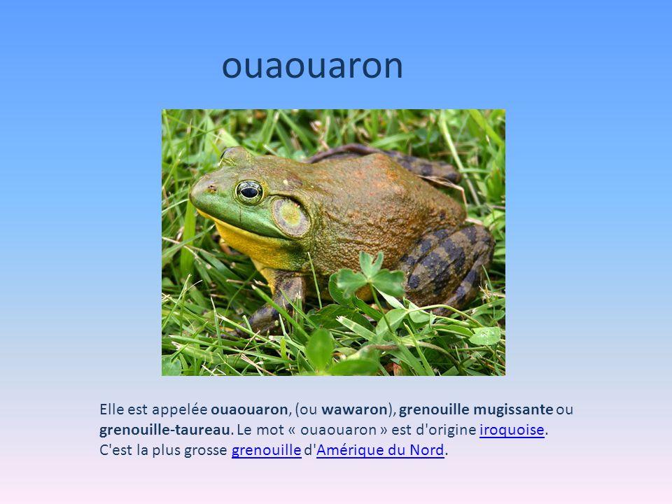 Elle est appelée ouaouaron, (ou wawaron), grenouille mugissante ou grenouille-taureau.