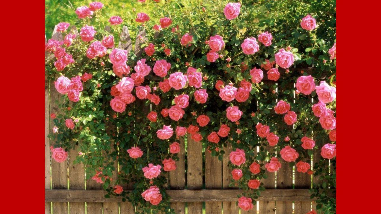 La rampe du balcon, rouillée, depuis longtemps Grimpe toujours menue envahie par les roses La pendule vieillie chante encore le temps Qui résonne à mon cœur comme une douce chose.