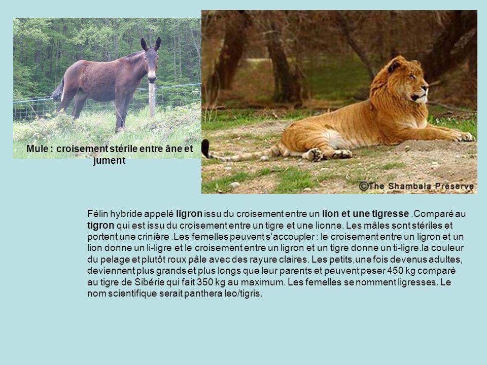 Félin hybride appelé ligron issu du croisement entre un lion et une tigresse.Comparé au tigron qui est issu du croisement entre un tigre et une lionne