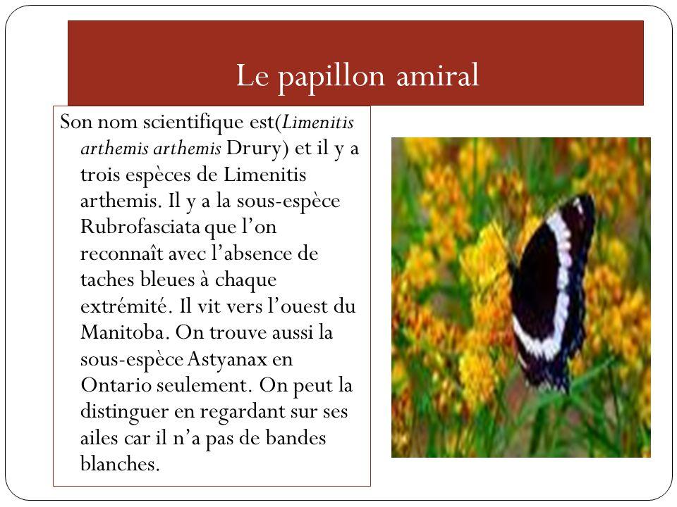 Le papillon amiral Son nom scientifique est(Limenitis arthemis arthemis Drury) et il y a trois espèces de Limenitis arthemis. Il y a la sous-espèce Ru