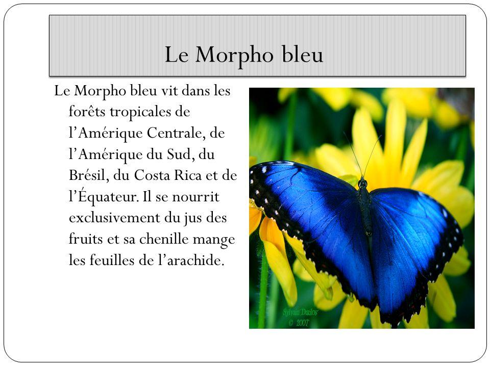 Le Morpho bleu Le Morpho bleu vit dans les forêts tropicales de lAmérique Centrale, de lAmérique du Sud, du Brésil, du Costa Rica et de lÉquateur. Il