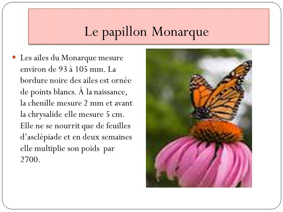 Le papillon Monarque Les ailes du Monarque mesure environ de 93 à 105 mm. La bordure noire des ailes est ornée de points blancs. À la naissance, la ch