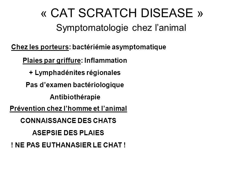 Symptomatologie chez lanimal Plaies par griffure: Inflammation + Lymphadénites régionales Pas dexamen bactériologique Antibiothérapie Prévention chez