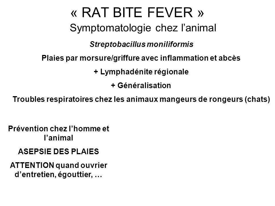 Symptomatologie chez lanimal Streptobacillus moniliformis Plaies par morsure/griffure avec inflammation et abcès + Lymphadénite régionale + Généralisa