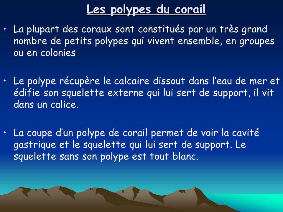 Les polypes du corail La plupart des coraux sont constitués par un très grand nombre de petits polypes qui vivent ensemble, en groupes ou en colonies