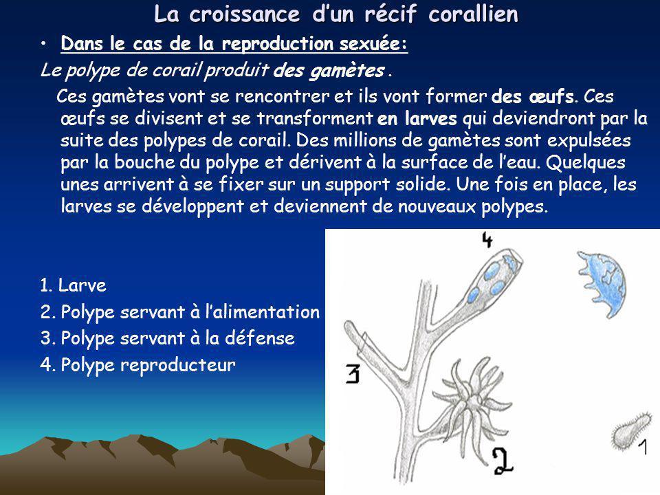 La croissance dun récif corallien Dans le cas de la reproduction sexuée: Le polype de corail produit des gamètes. Ces gamètes vont se rencontrer et il