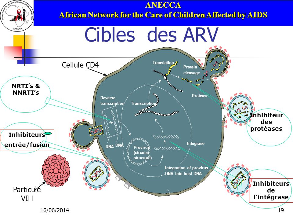 ANECCA African Network for the Care of Children Affected by AIDS 16/06/201419 Cibles des ARV HIV particle Injection of contents HOST CELL Binding sites RNA DNA Reverse transcriptionTranscription Integration of provirus DNA into host DNA Translation Cell membrane Completed HIV particle Maturation Budding Viral assembly Protein cleavage gp41 gp120 RNA s e Protease Integrase Provirus (circular structure) Inhibiteur des protéases NRTIs & NNRTIs Inhibiteurs entrée/fusion Cellule CD4 Particule VIH Inhibiteurs de lintégrase