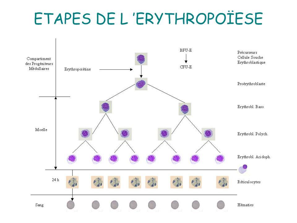 8 IV - CINETIQUE 4 à 5 divisions permettent de passer d un PE à 32 ou 64 hématies La phase mitotique dure 5 à 6 jours Hémolyse physio = (10% Apoptose) Régulation de lérythropoïétine