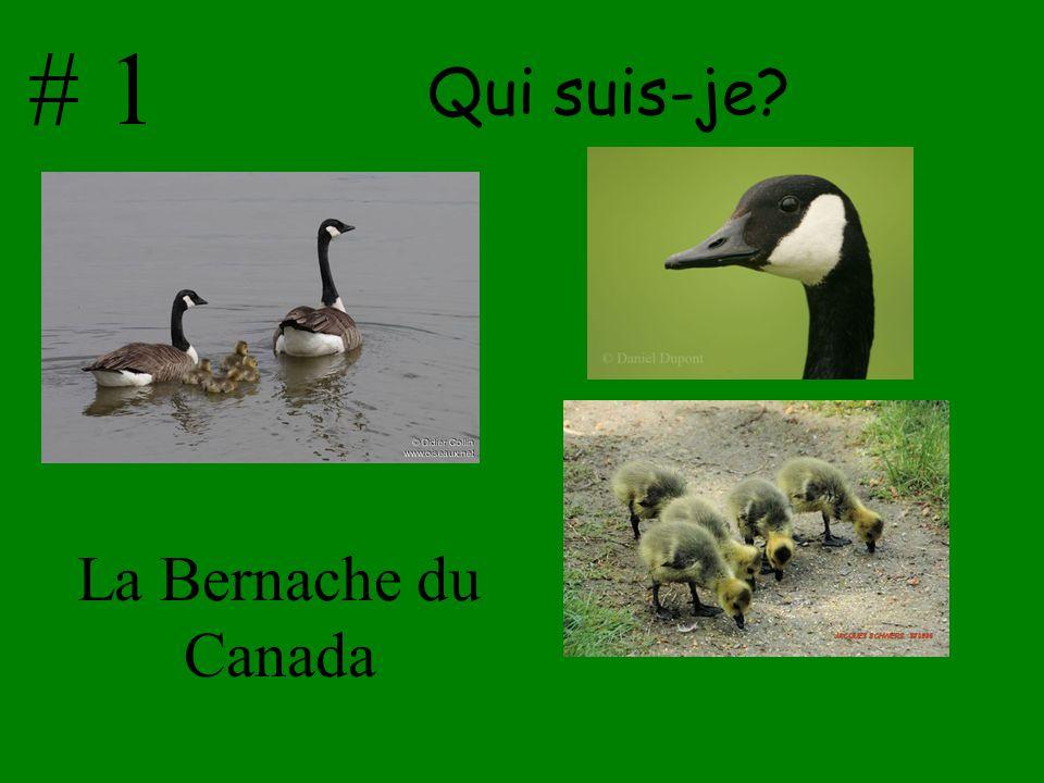 Qui suis-je? La Bernache du Canada # 1