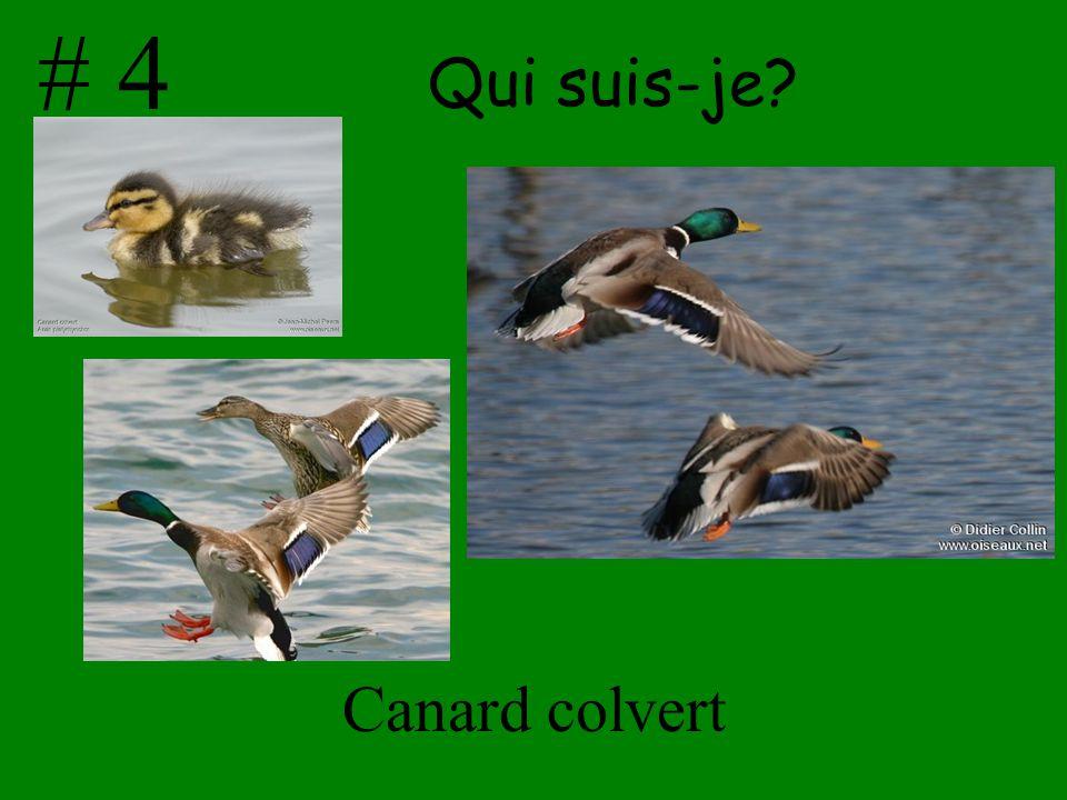 Qui suis-je? Canard colvert # 4