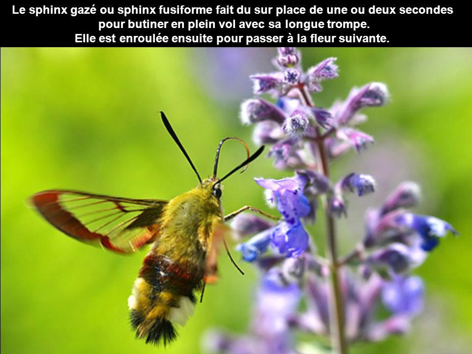 Le bourdon se nourrit de nectar et de pollen et habite les prairies et les jardins. Ce n'est pas le mâle de l'abeille, mais l'un de ses cousins.