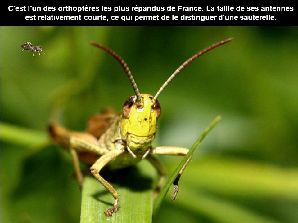 C est l un des orthoptères les plus répandus de France.