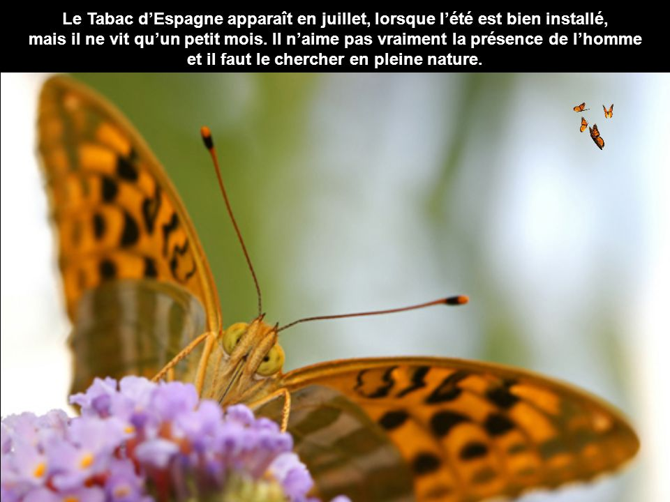 Cet insecte trapu a une fourrure très dense. Le corps est souvent brun, rouge et jaune, parfois orné de couleurs vives. La tête ronde est munie d'une